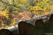 Efterårsbillede af træstammer med dis