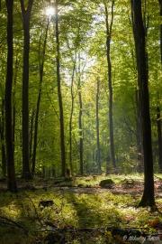 Lyset trænger ned igennem de høje træer