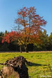Efterårsbillede af træ med røde blade